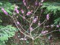 Liliacul salbatic
